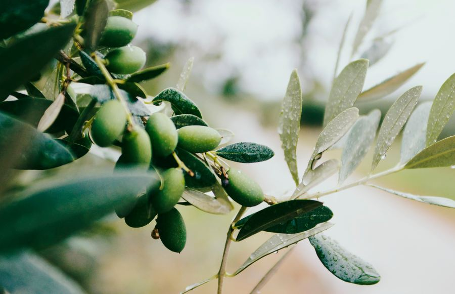 The 5 Best California Olive Oil Producers