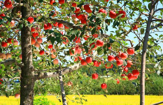 Where to go Apple Picking in the Bay Area This Autumn