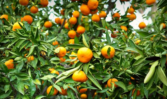 Munch on Mandarin Oranges and Test Your Endurance in Placer County